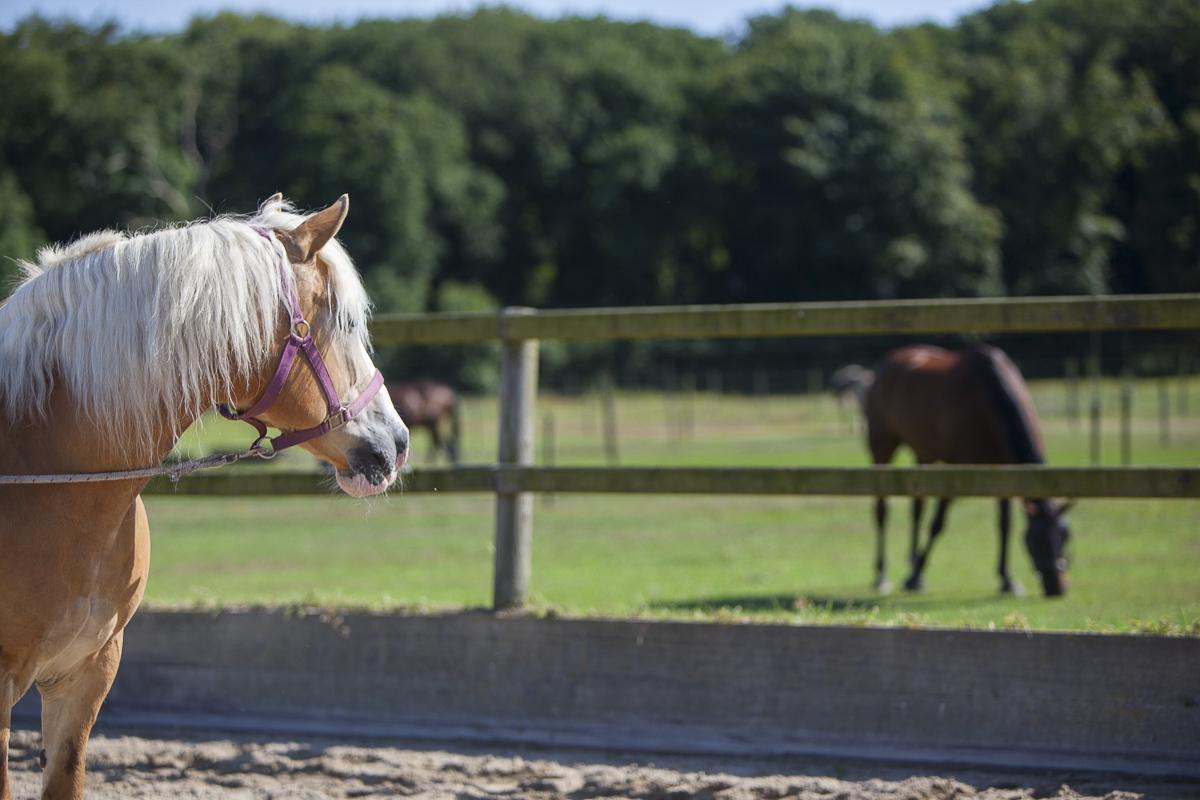 Als je je paard traint, zorg dat er vriendjes bij zijn of dat hij andere paarden kan zien.