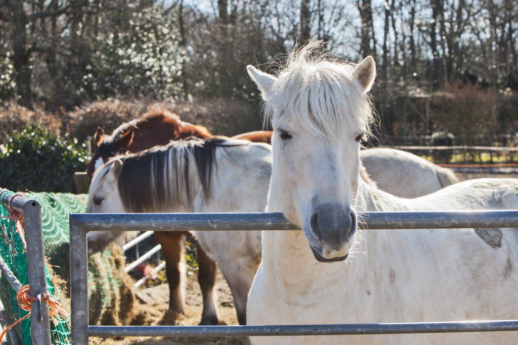 Verhuizen van een paard naar een andere stal is enerverend. Fjord Ivar maakte het onlangs mee, maar na twee weken kon hij in zijn groepje van Fjord Fedor en twee grote bruine paarden.