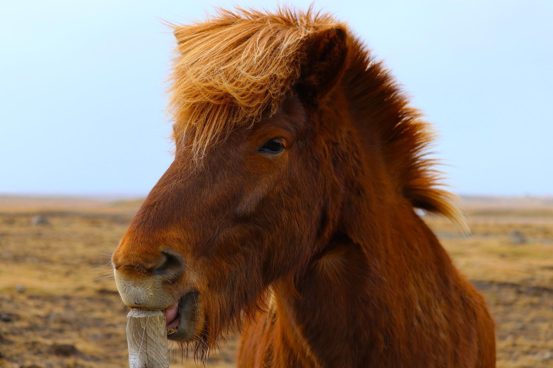 Hout knagen is natuurlijk gedrag. Kribbebijten komt niet bij in het wilde levende paarden voor.
