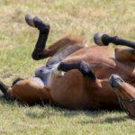 Waarom rollen paarden eigenlijk?
